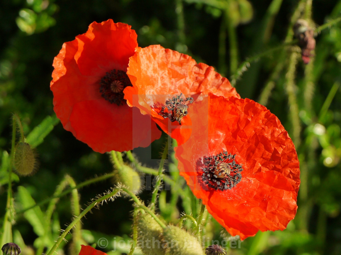 """""""Red Poppies, 5"""" stock image"""