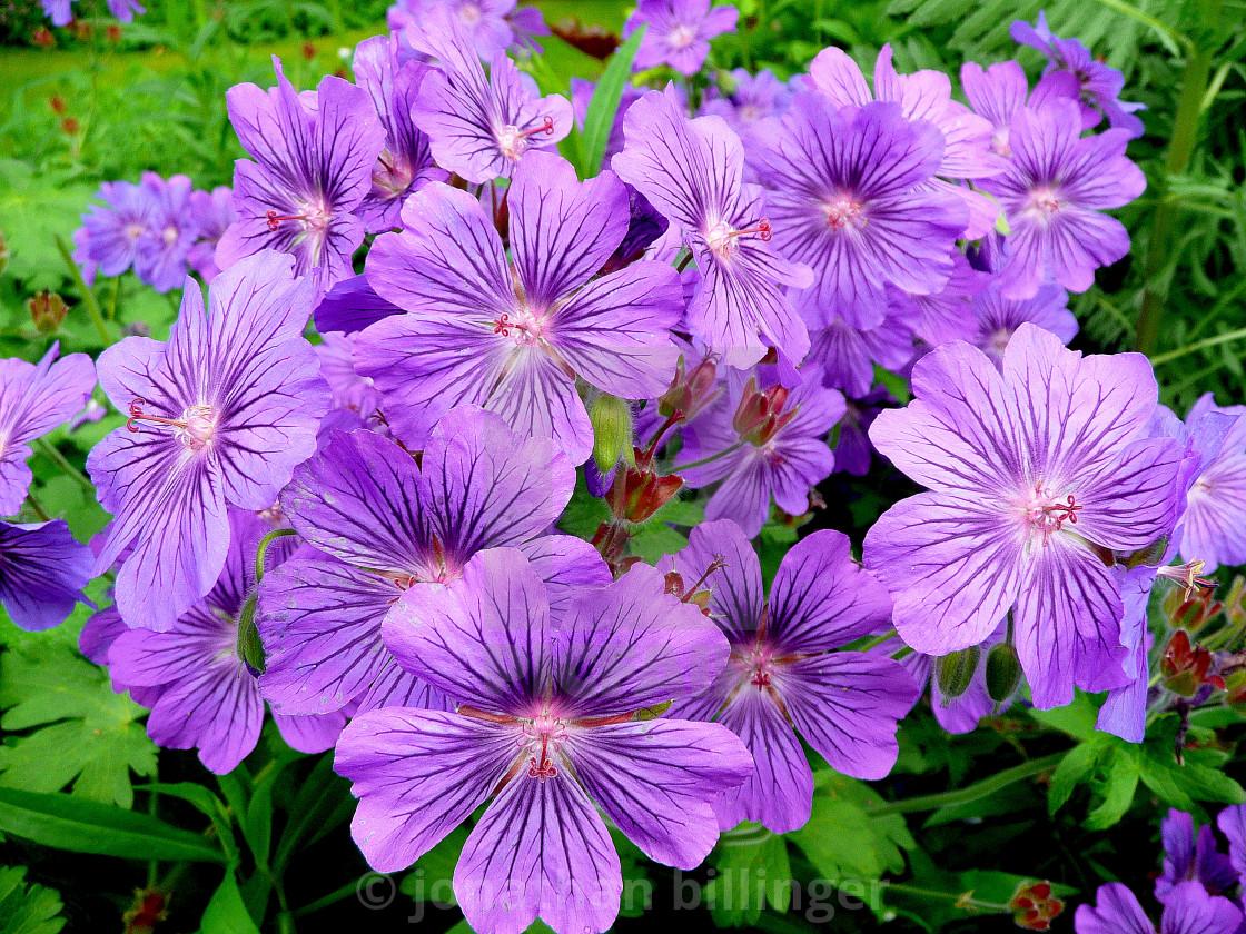 """""""Geranium, 8"""" stock image"""