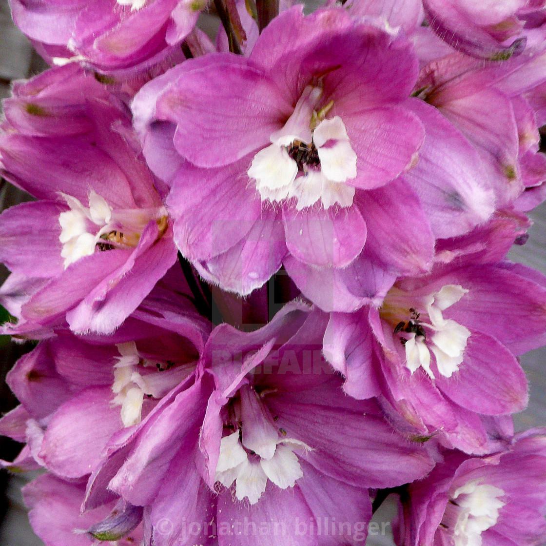 """Pink Delphinium, 1"" stock image"