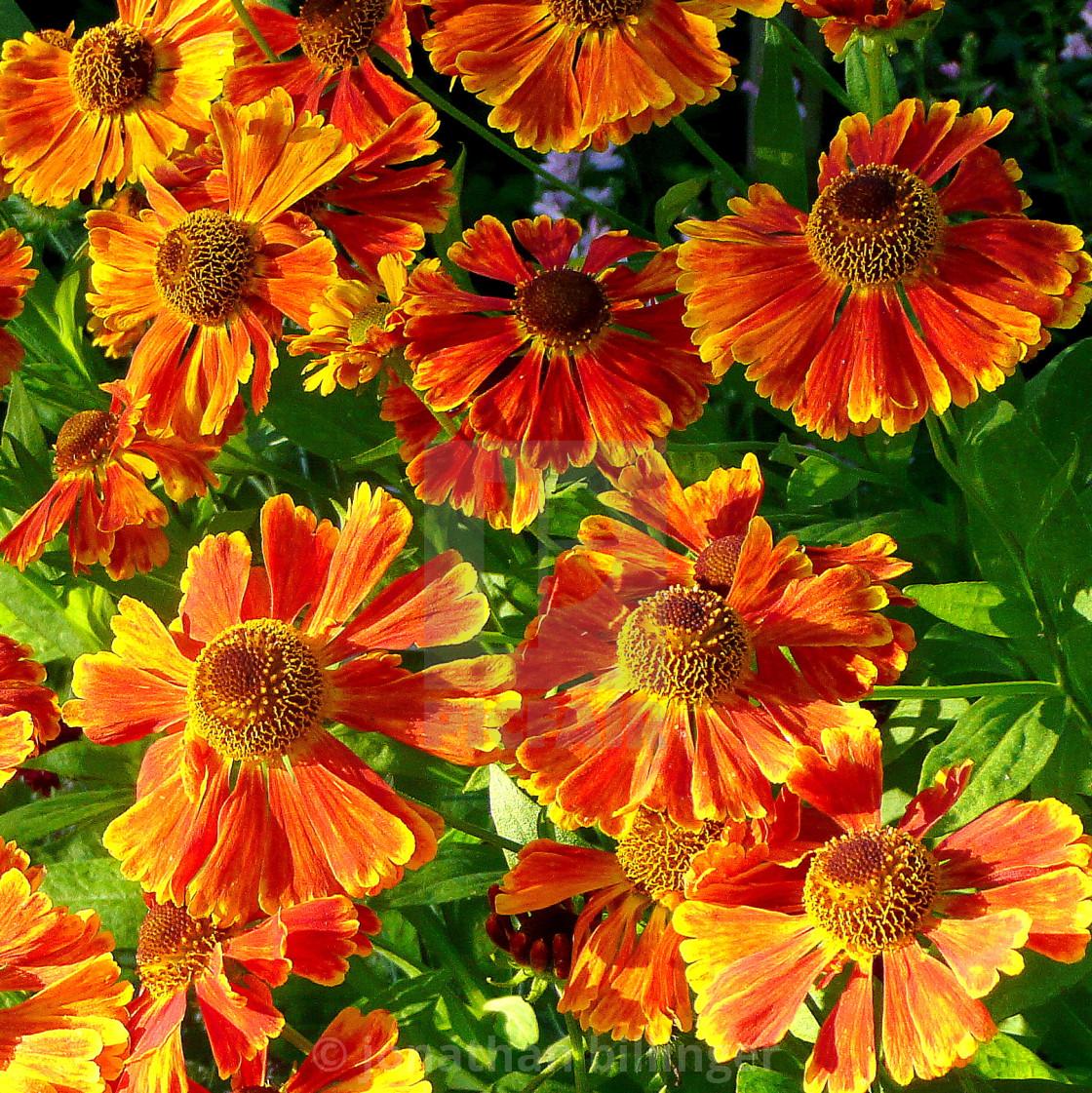 """Helenium autumnale 'Moerheim Beauty', 1"" stock image"