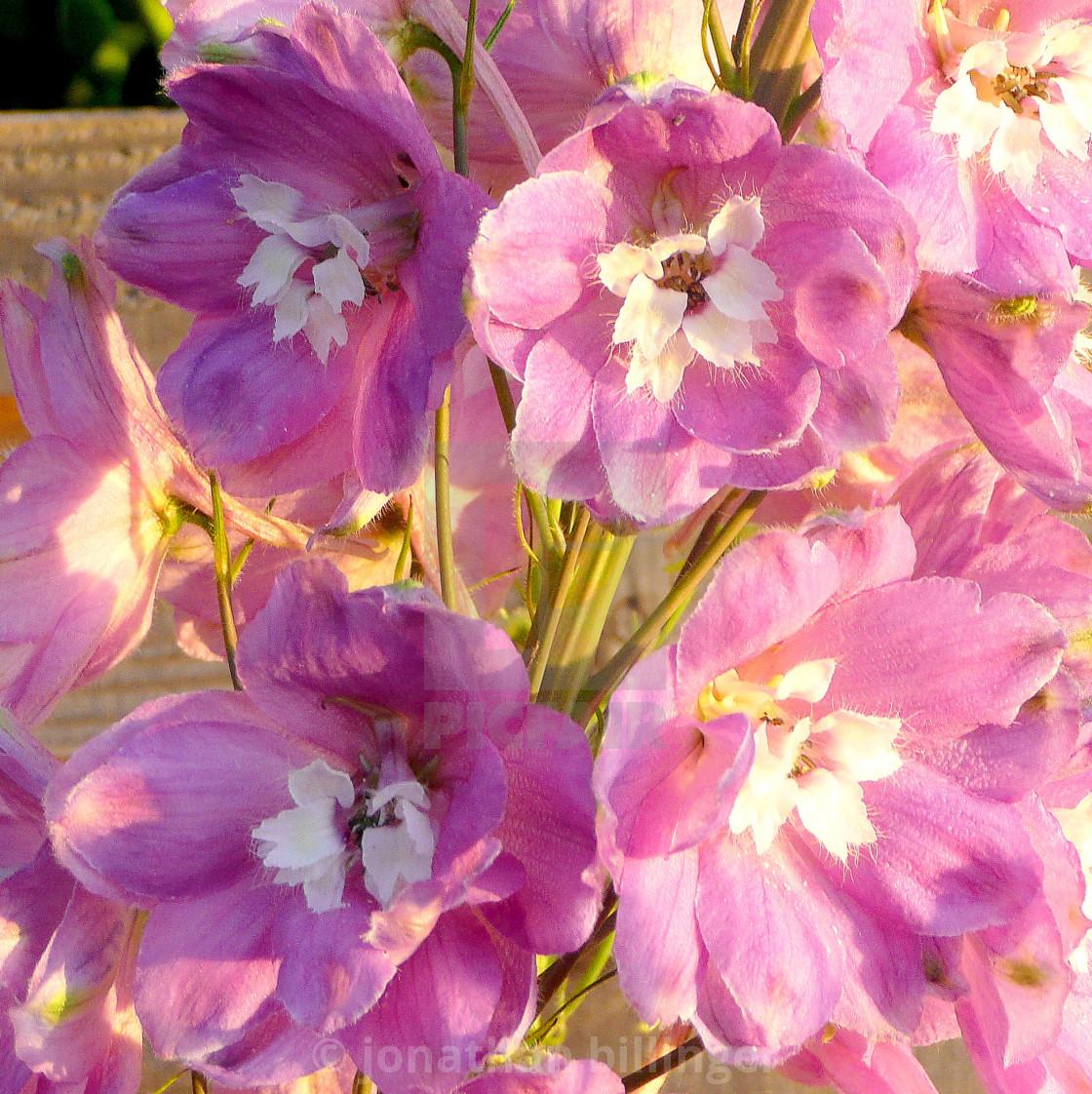 """Pink Delphinium, 2"" stock image"