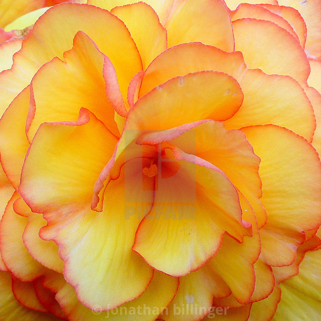 """""""Begonia tuberosa, 1"""" stock image"""