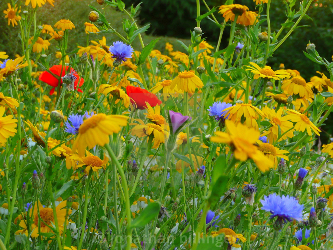 """Wild flower Meadow, 1"" stock image"