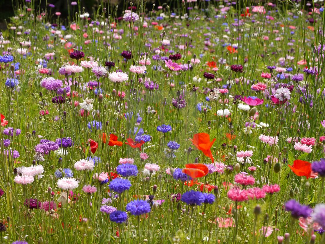 """Wild flower Meadow, 2"" stock image"