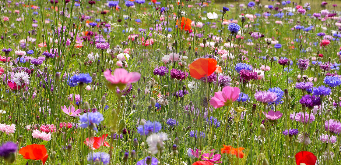 """Wild flower Meadow, 3"" stock image"