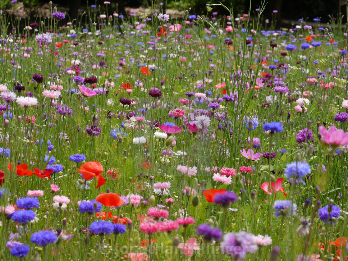 """Wild flower Meadow, 4"" stock image"