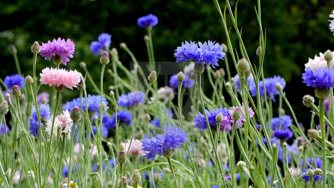 """Wild flower Meadow, 5"" stock image"