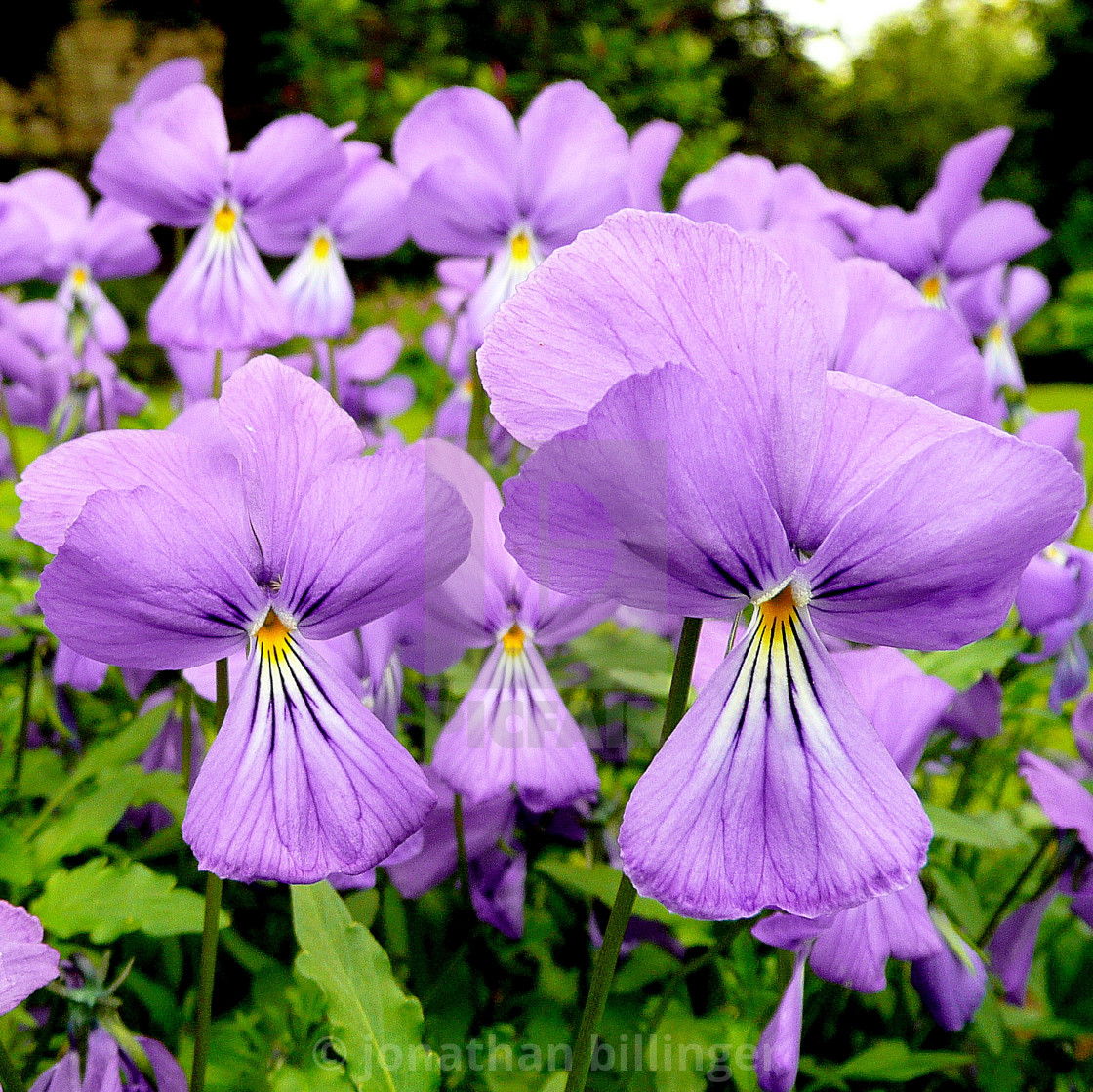 """A crowd of Violas"" stock image"