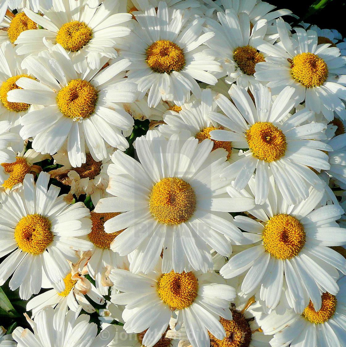 """""""Leucanthemum in the morning"""" stock image"""