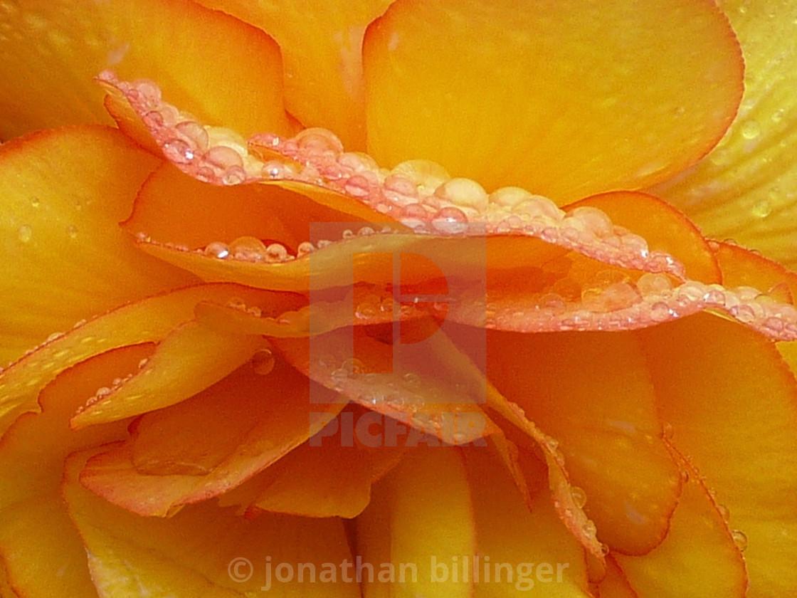"""""""Begonia tuberosa, 2"""" stock image"""