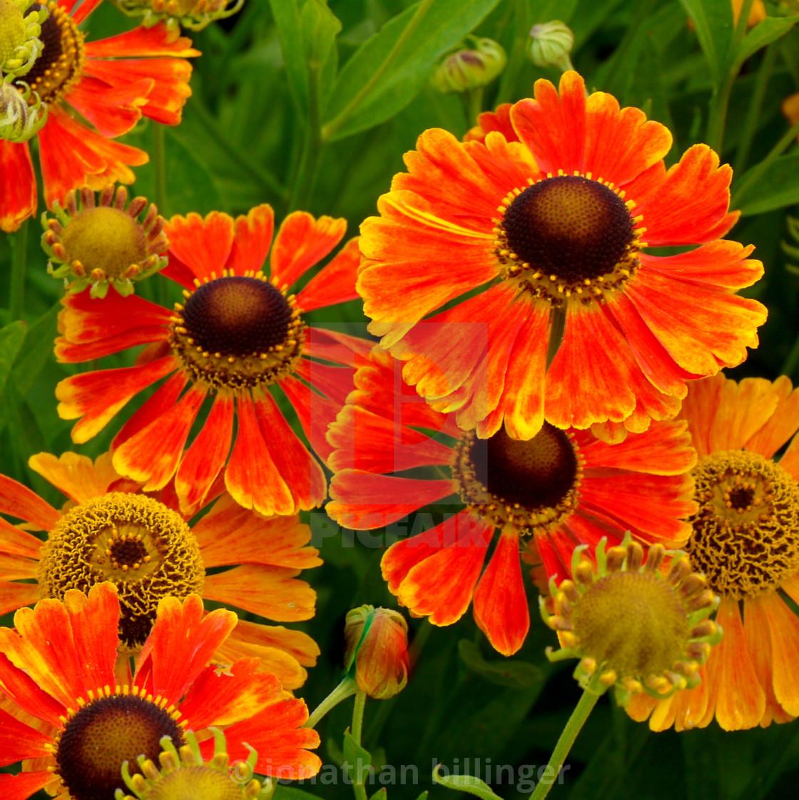"""Helenium autumnale 'Moerheim Beauty', 2"" stock image"
