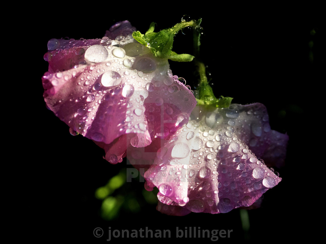 """""""Pink Sweet Pea After Rain"""" stock image"""