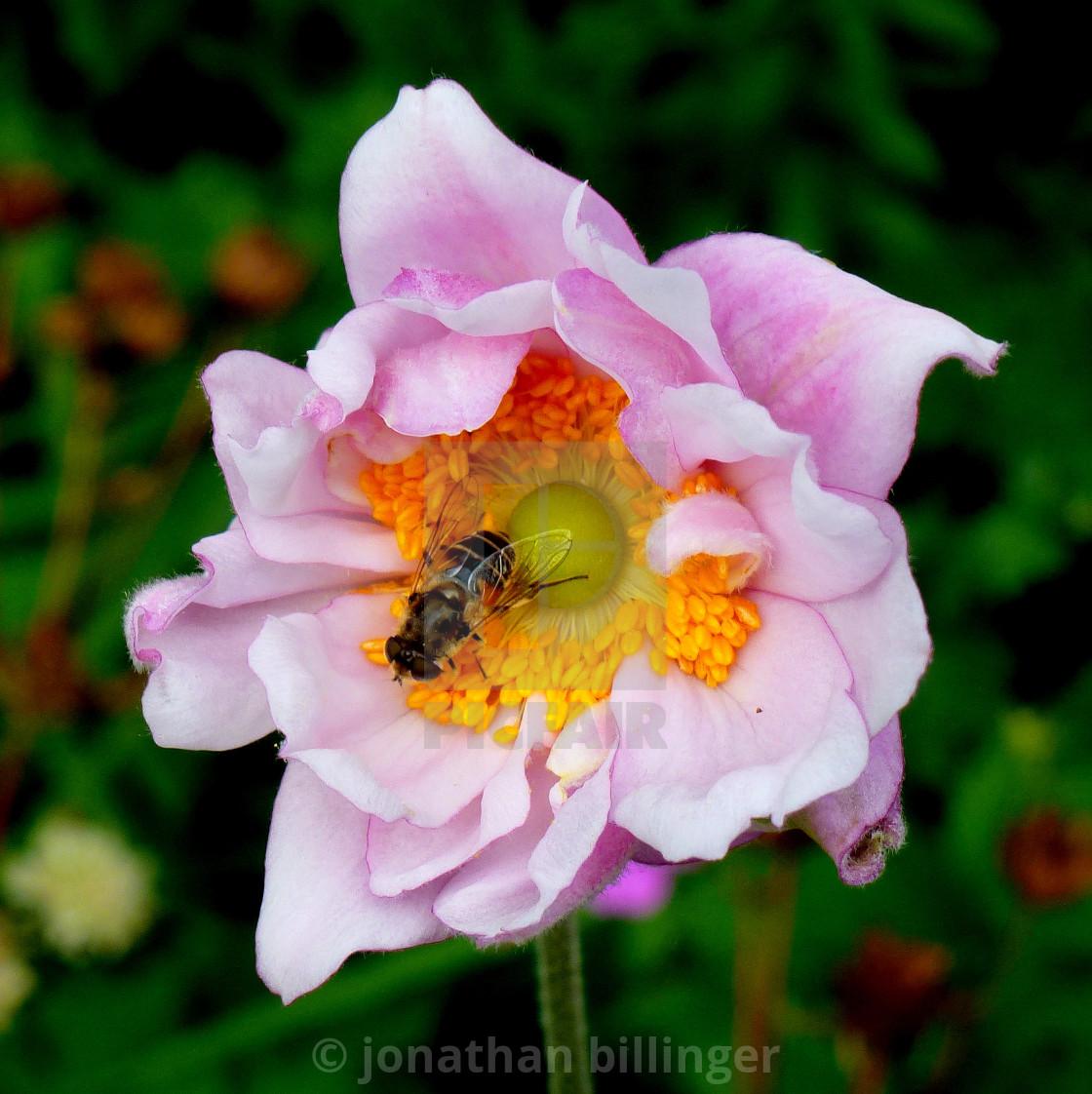 """Pink Japanese Anemone, 3"" stock image"