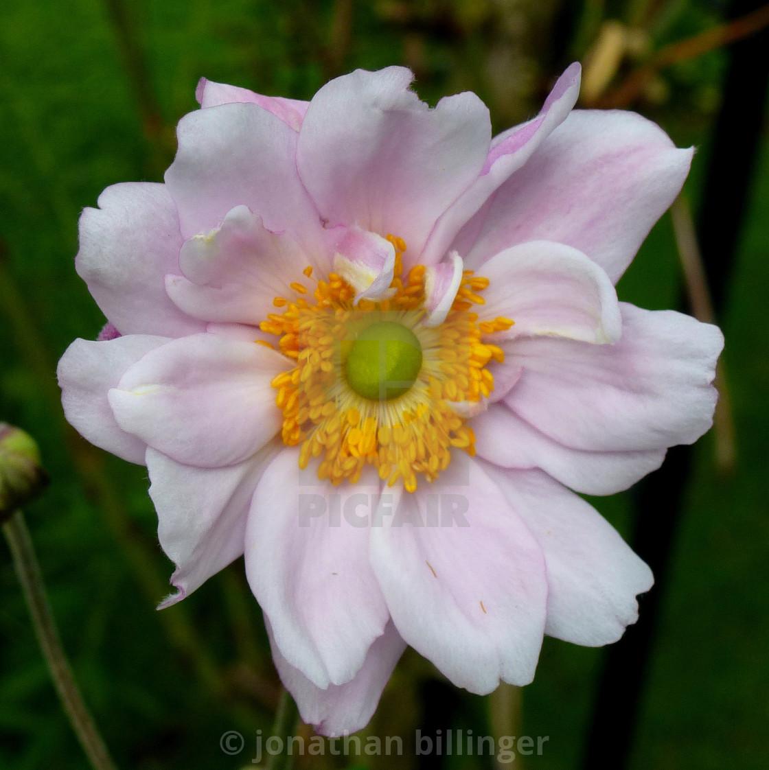 """Pink Japanese Anemone, 4"" stock image"