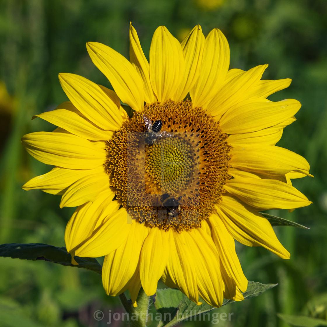"""Sunflower, 1"" stock image"