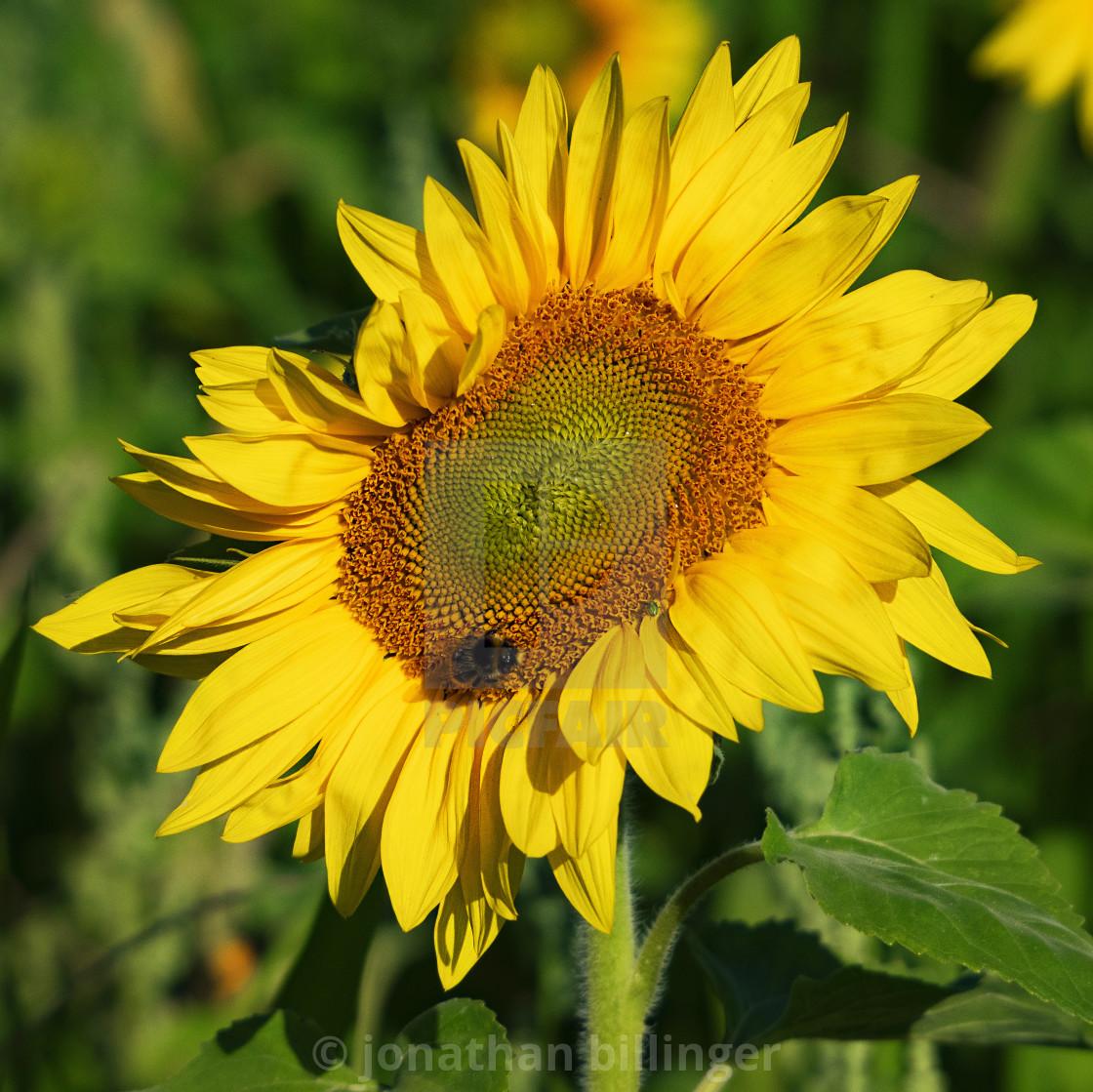 """Sunflower, 2"" stock image"