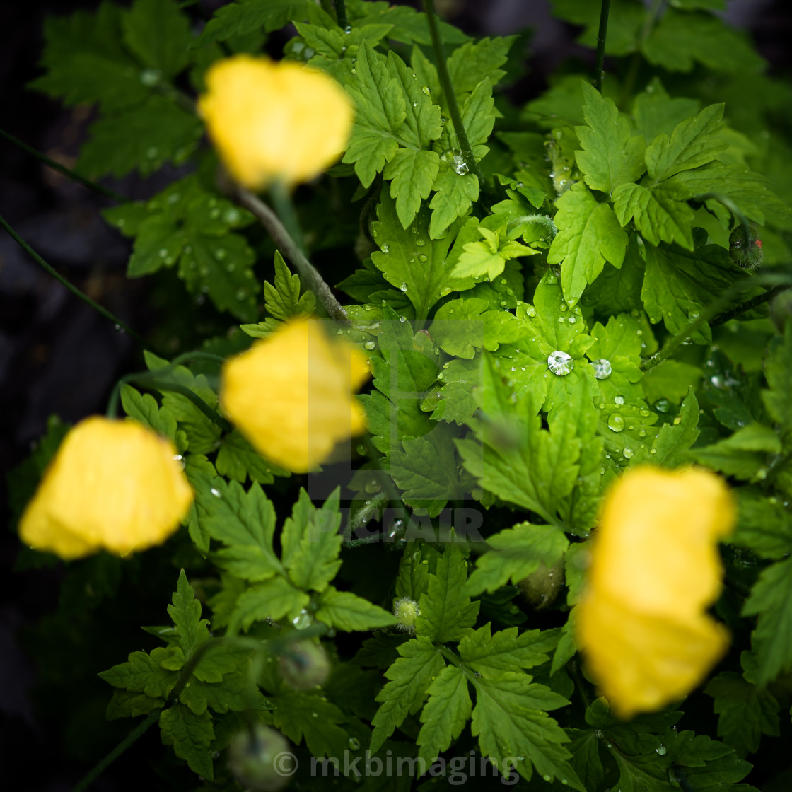 """Raindrops in a Poppy Plant"" stock image"