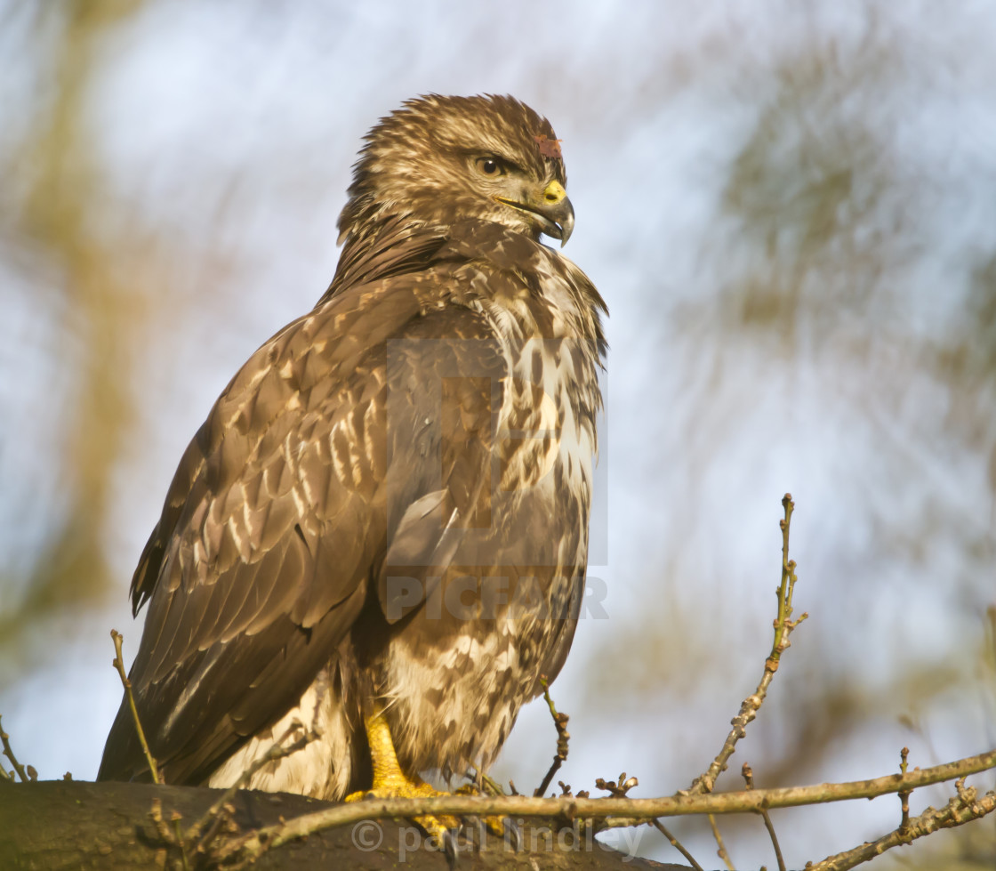 """""""Buzzard perched in tree"""" stock image"""