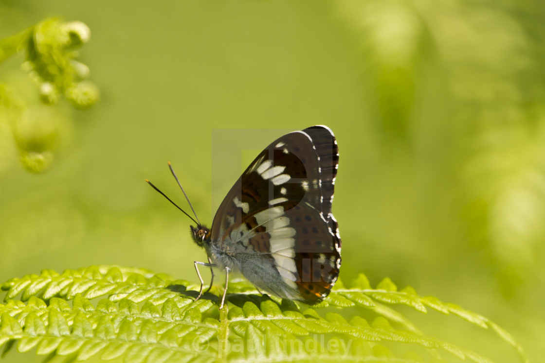 """""""White admiral butterfly, underwings"""" stock image"""