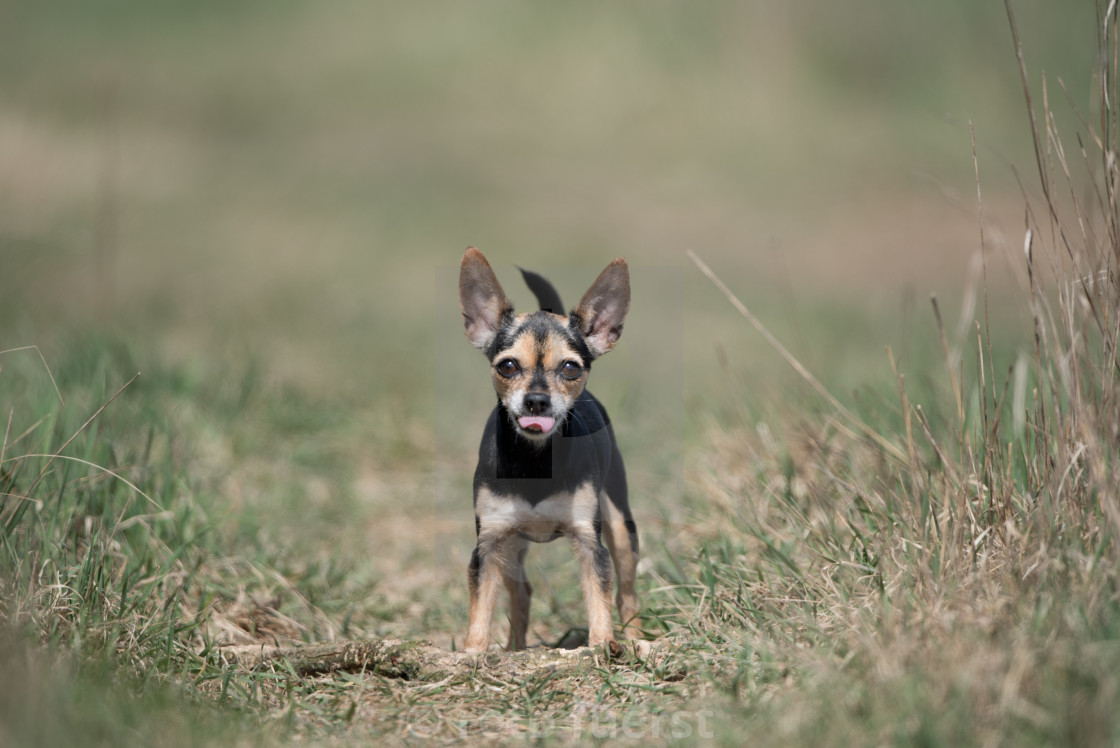 Isolated chihuahua posing with tongue out