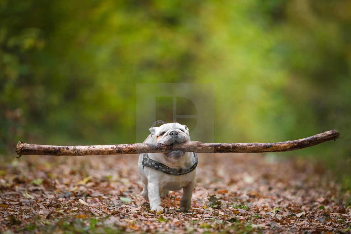 """Isolated English bulldog running with a very large stick in his mouth"" stock image"