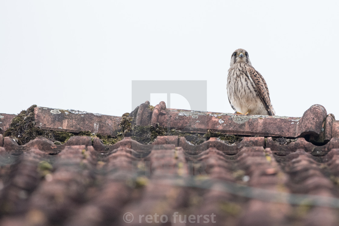 """Isolated common kestrel"" stock image"