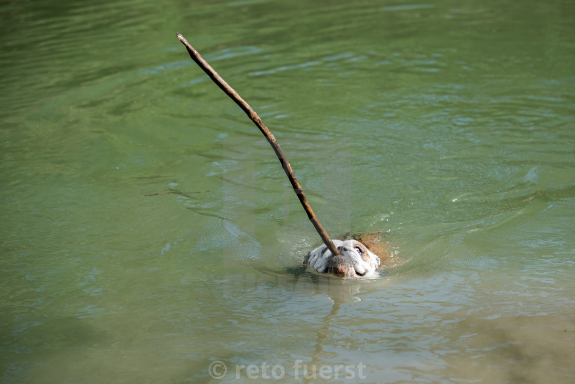 """Isolated English bulldog swimming with a stick"" stock image"