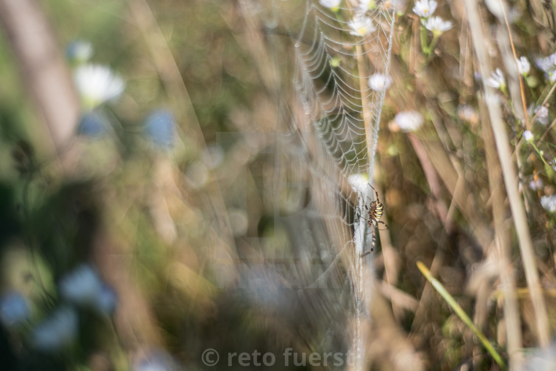 """Isolated wasp spider sitting in a spider web and waiting for prey"" stock image"