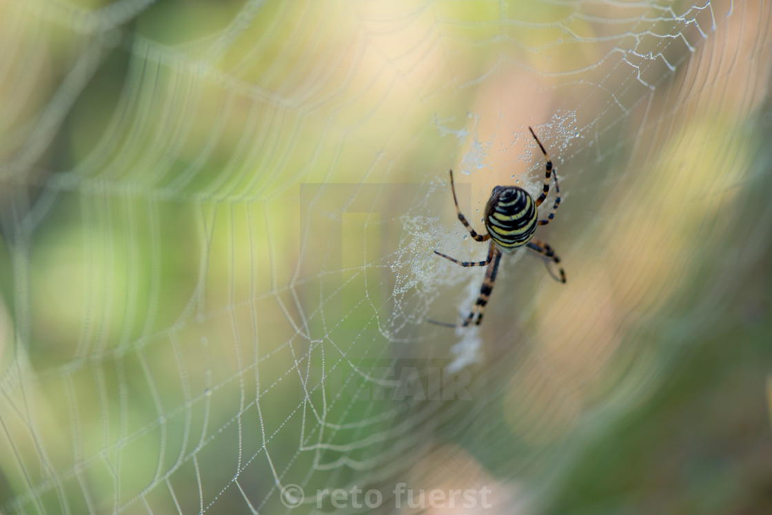 """""""Isolated wasp spider sitting in a spider web and waiting for prey"""" stock image"""
