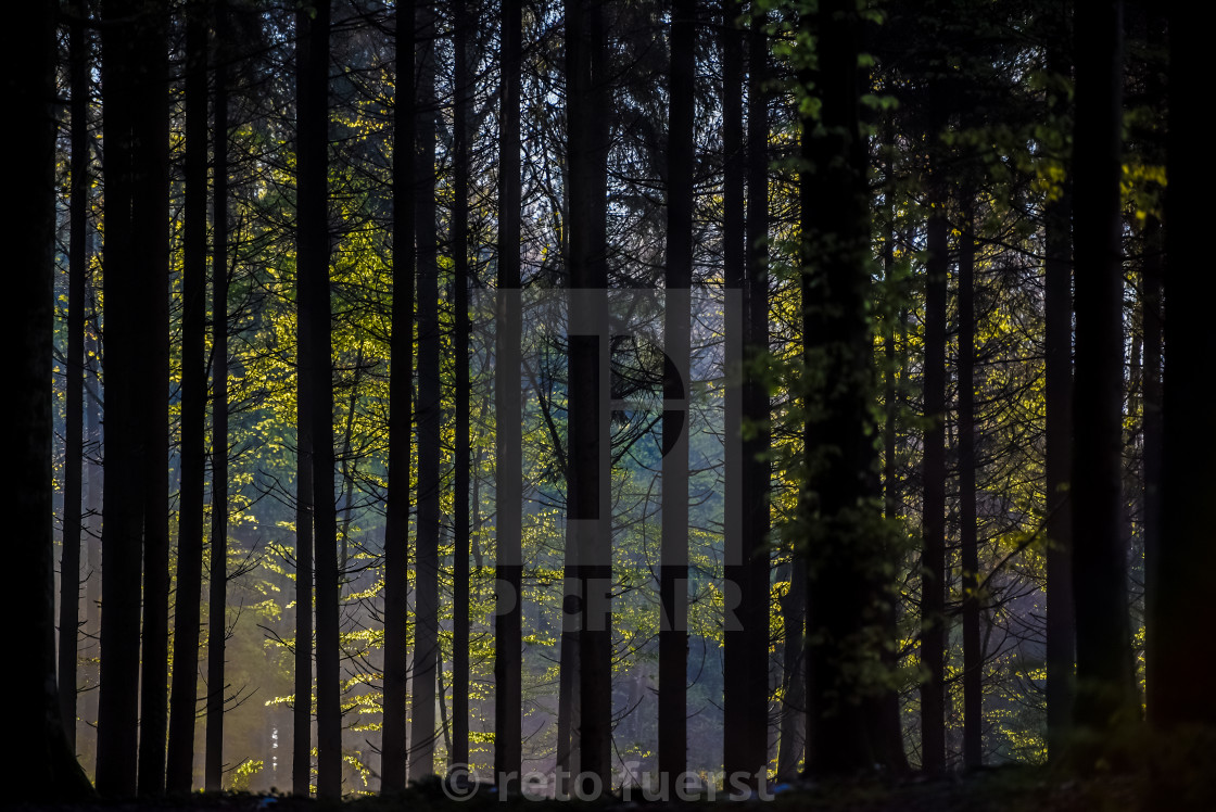 """Forest trees in back light"" stock image"
