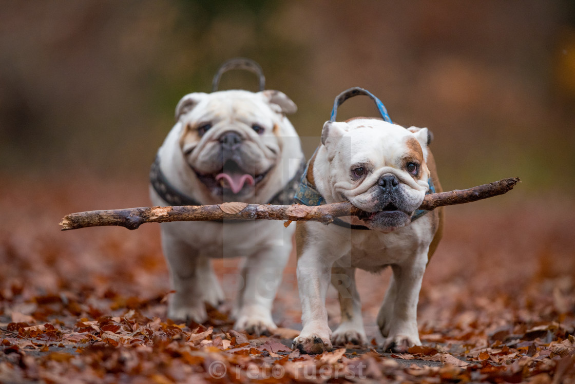 """Isolated English bulldogs with a large stick in the forest during fall"" stock image"