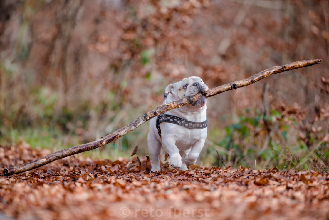 """Isolated English bulldog with a large stick in the forest during fall"" stock image"