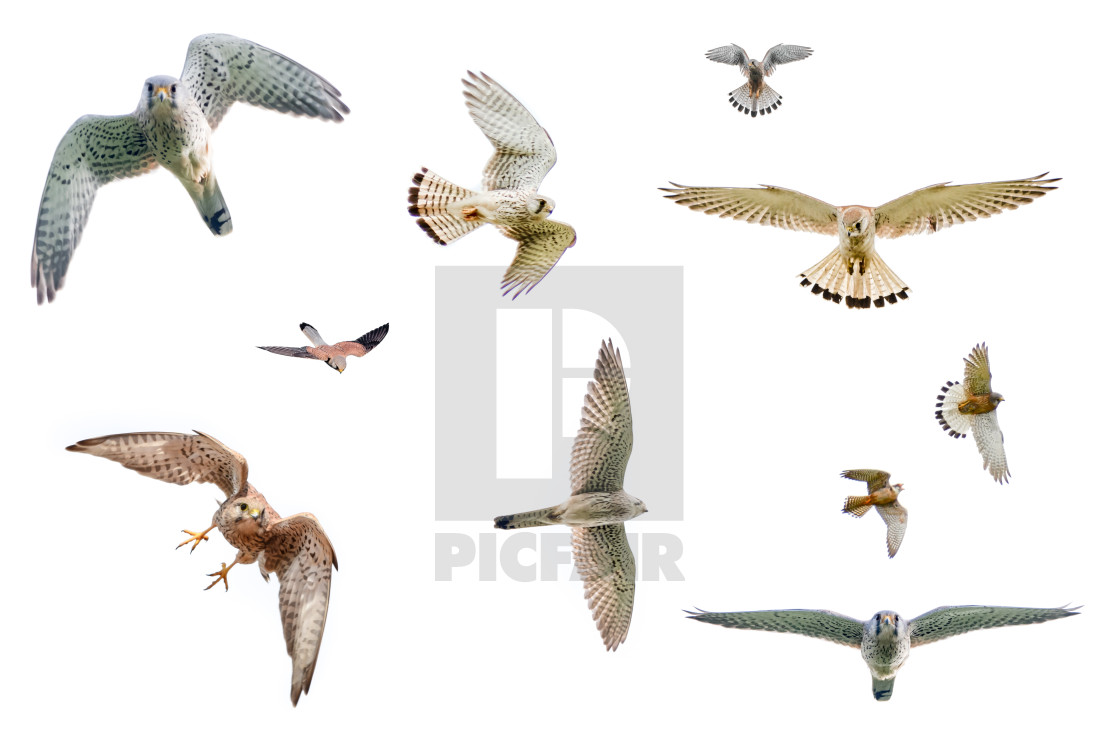 """Selection of isolated falcons in flight with fully open wings on white background"" stock image"