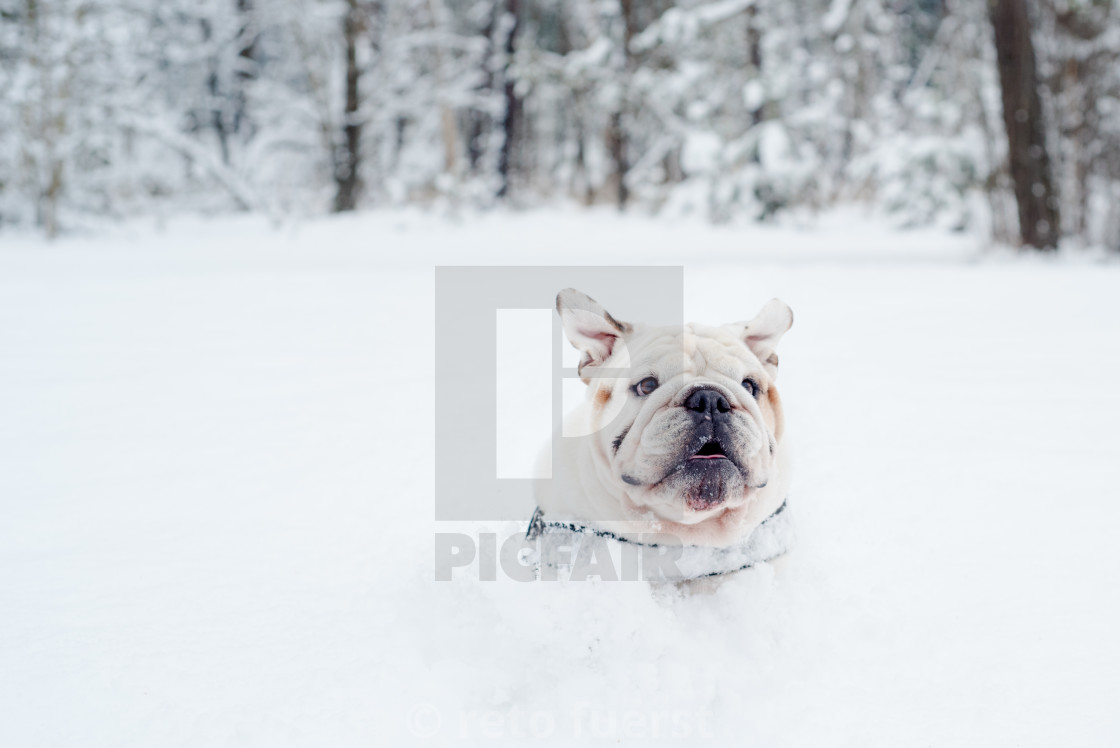 """""""Isolated happy English bulldog on a cold winter day covered in snow"""" stock image"""