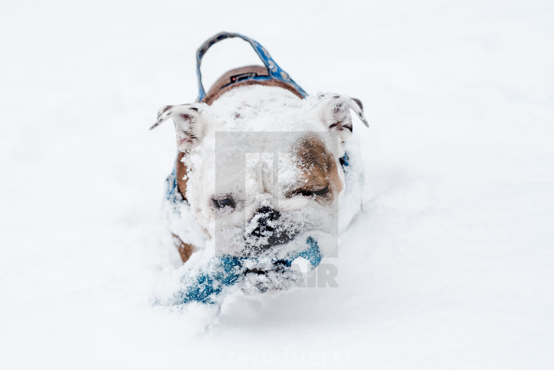 """Isolated happy English bulldog on a cold winter day covered in snow"" stock image"