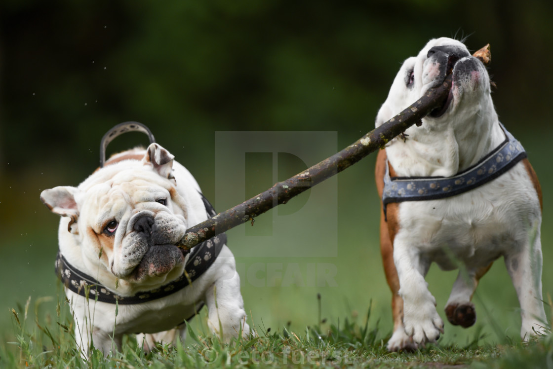 """""""Two happy English bulldogs on an autumn day in the forest with a large stick"""" stock image"""
