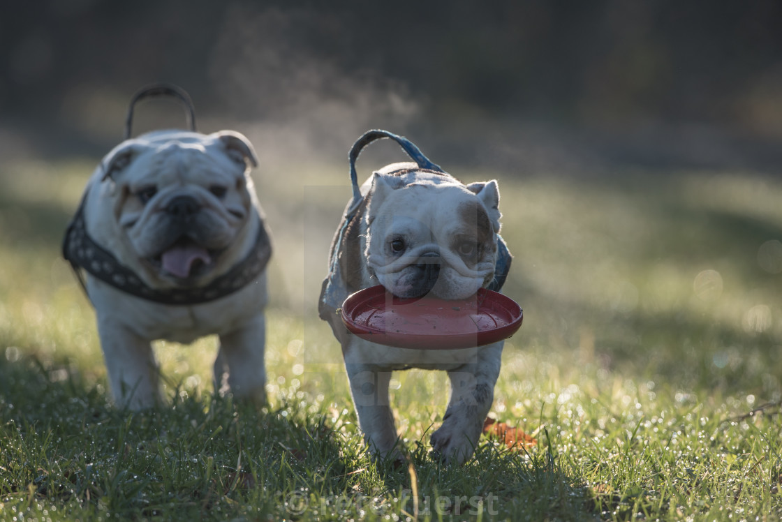 """Two happy English bulldogs on an autumn day in the forest with their favorite toy"" stock image"