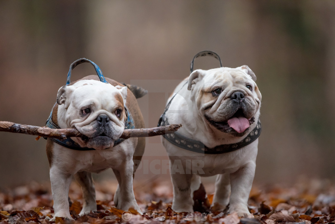 """Two happy English bulldogs on an autumn day in the forest with a large stick"" stock image"
