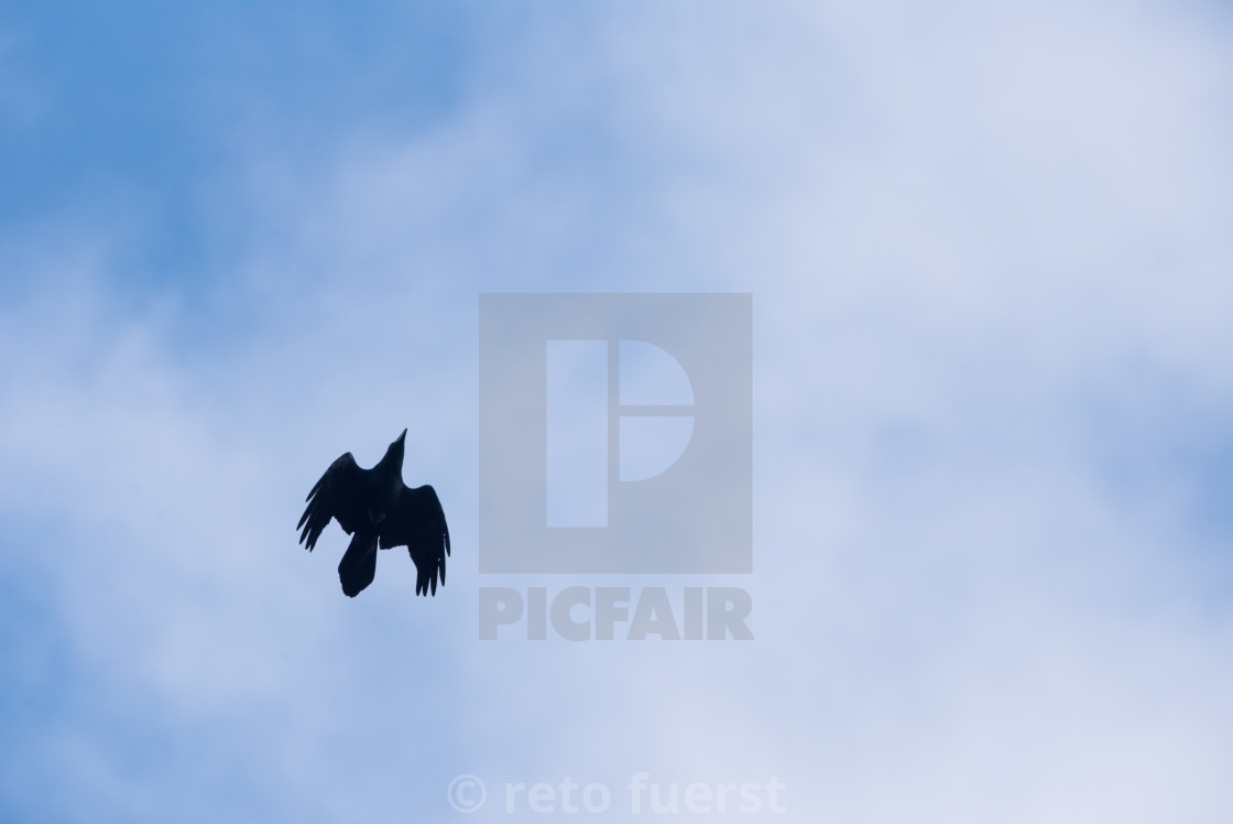 """Isolated raven in flight with open wings"" stock image"