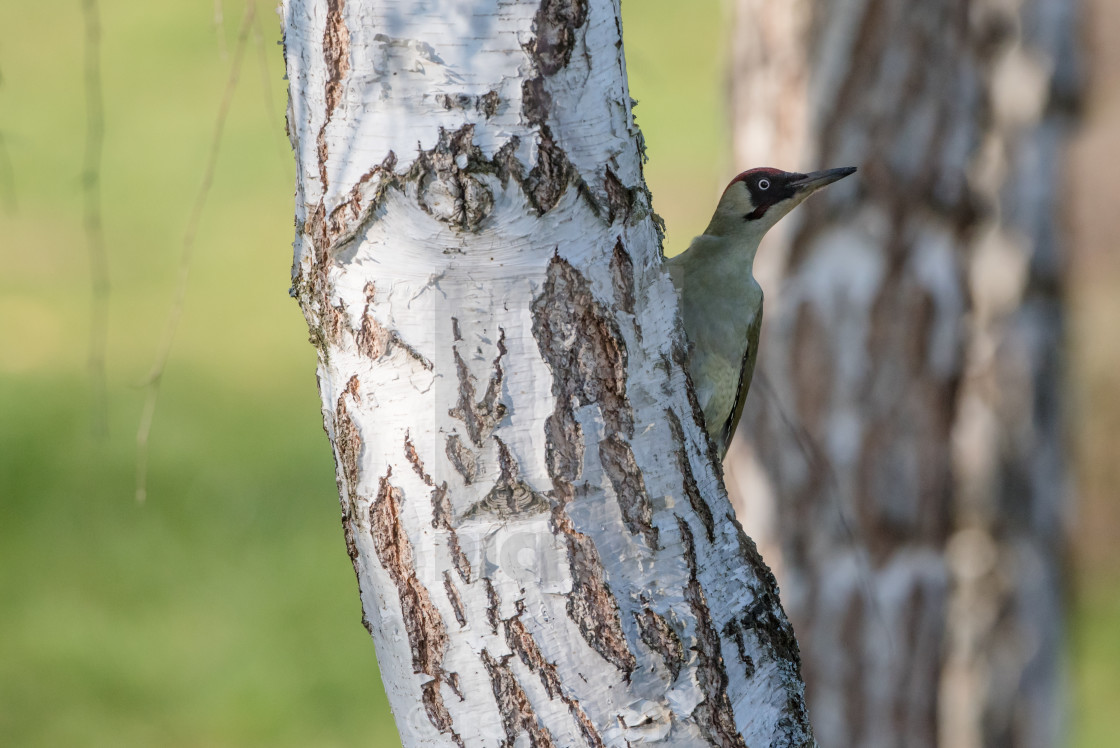 """""""Isolated green woodpecker hiding behind a tree"""" stock image"""