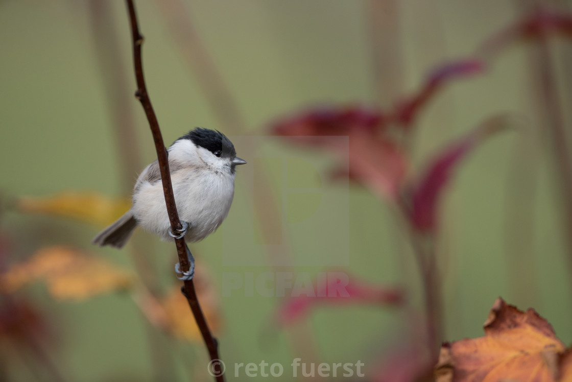 """Isolated willow tit perching on a branch on an autumn day"" stock image"