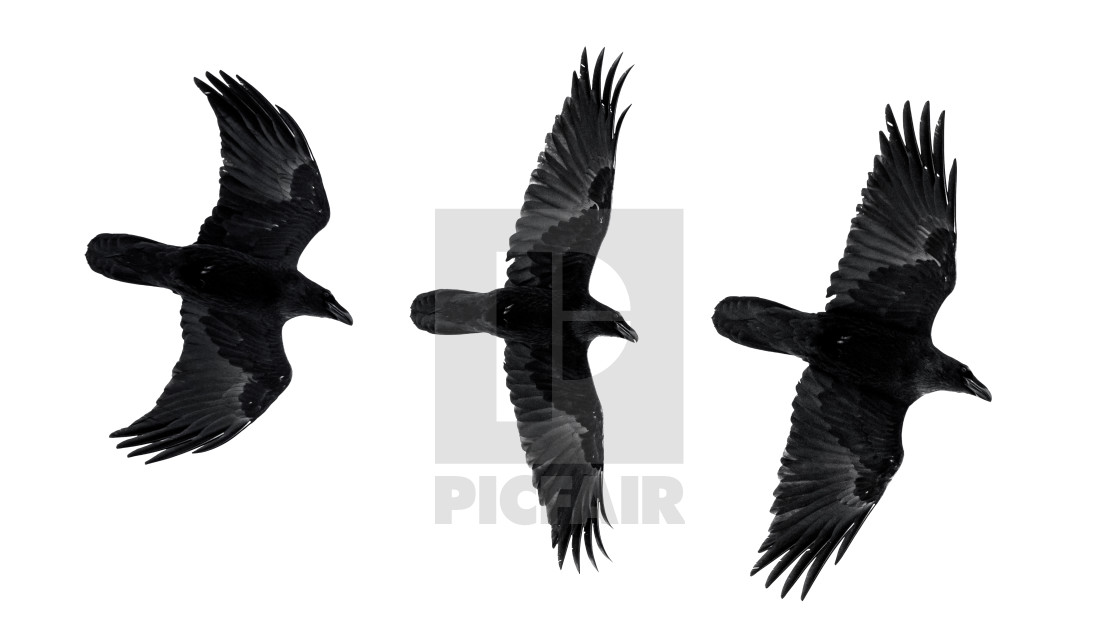 """""""Three isolated raven in flight with fully open wings"""" stock image"""