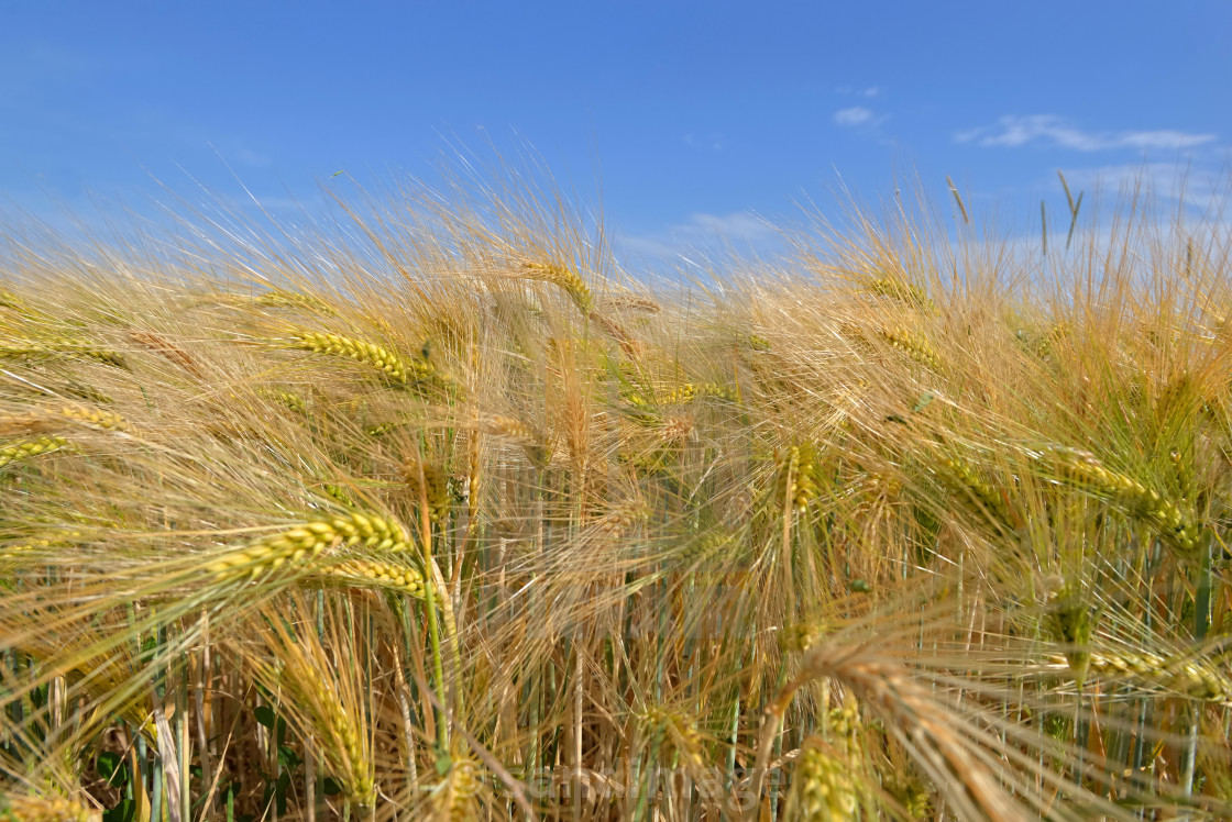 """""""close ocobs of golden cereal growing in a field under blue sky"""" stock image"""