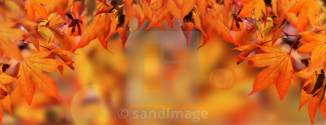 """""""orange autumnal background with leaf of japanese maple tree"""" stock image"""