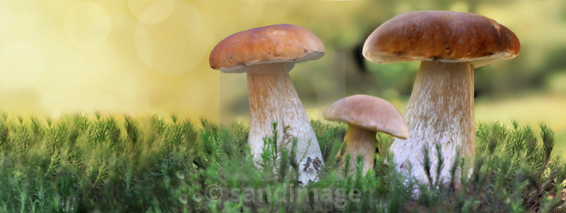 """""""cep mushrooms growing in the moss in forest in panoramic view"""" stock image"""