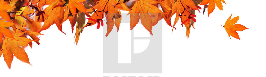 """""""red autumnal leaf of maple tree in panoramic view on white bac"""" stock image"""
