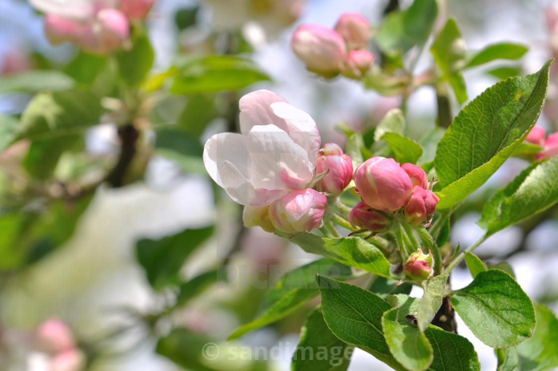 """beautiful flowers of an apple tree"" stock image"