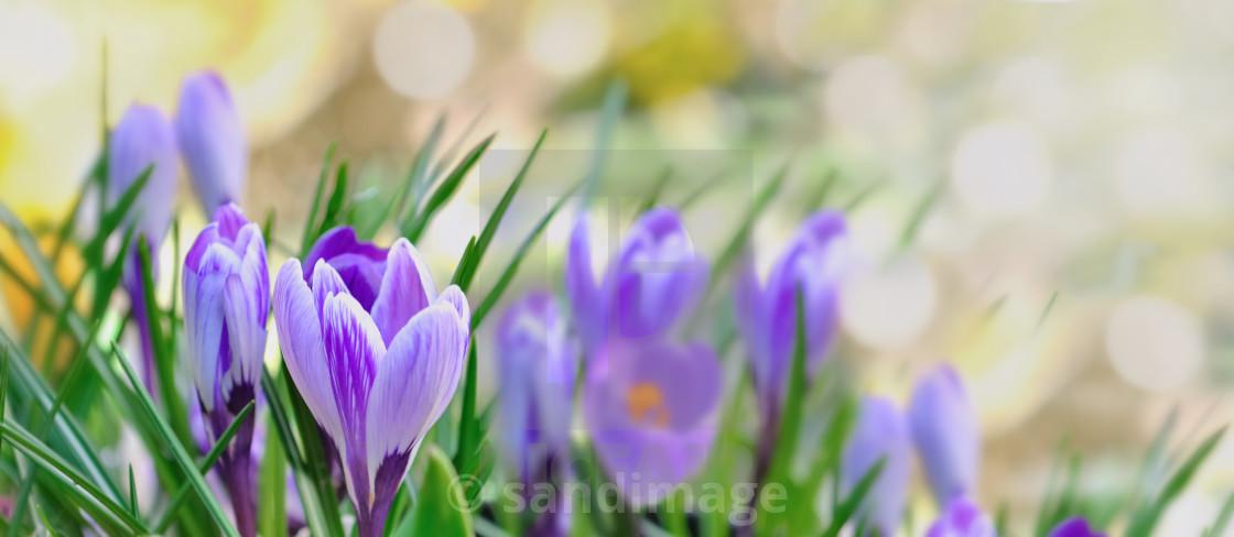 """crocus blooming in garden in panoramic view"" stock image"