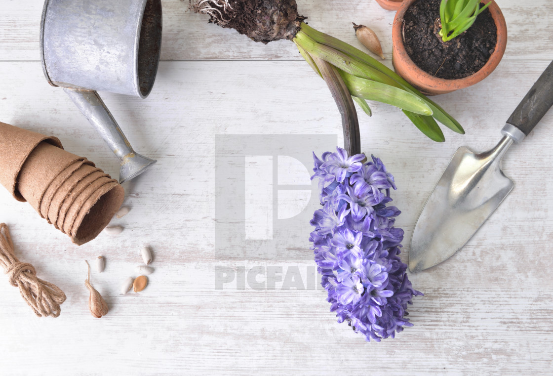 """top view on hyacinth blooming, shovel and flower pot with a little watering can on a white table"" stock image"