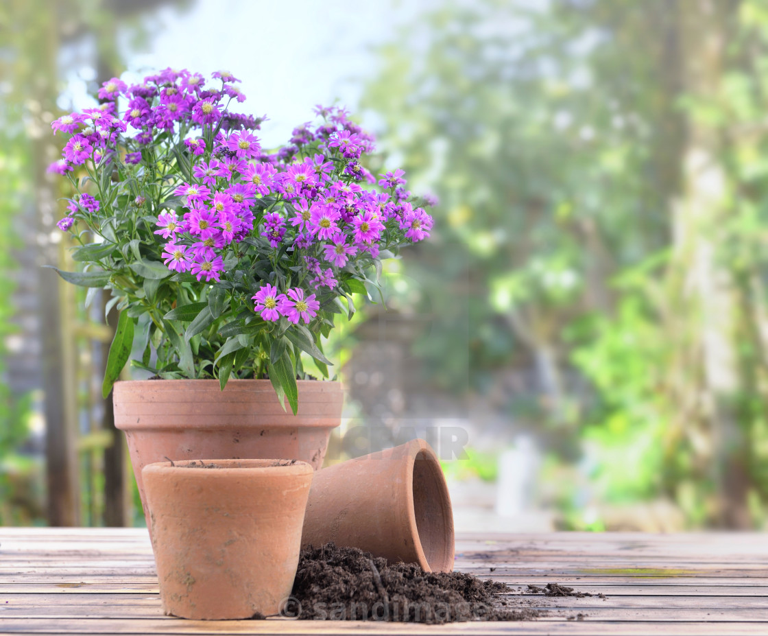 """""""aster flowers blomming in a flower pot on a table in garden"""" stock image"""